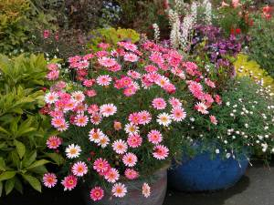 Growing Federation Daisies